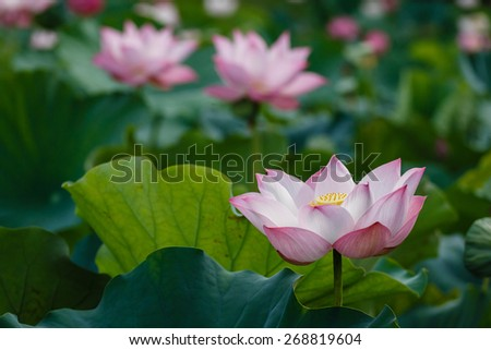 The lotus plant serves many uses, in addition to being associated with Hinduism and Buddhism, it is representative of creation, enlightenment, and purity - stock photo