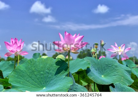 The lotus rising shine in the sky with the rising lotus blossom blue sky expressing the desire of people rising in the beauty of life on the high definition offer the beauty of life - stock photo