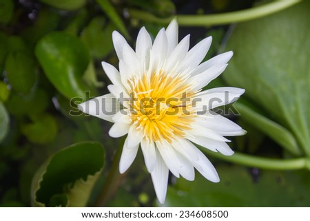 The Louts Flower - stock photo