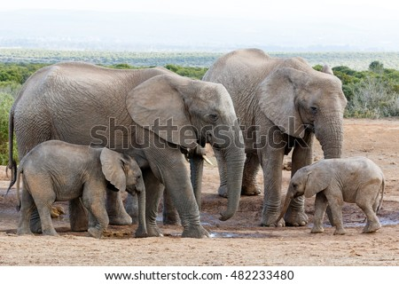 The love of the family off African Bush Elephant - The African bush elephant is the larger of the two species of African elephant.