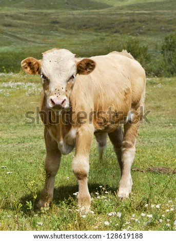 the lovely calf costs on a green lawn