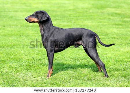 The lovely Manchester Terrier in a garden - stock photo
