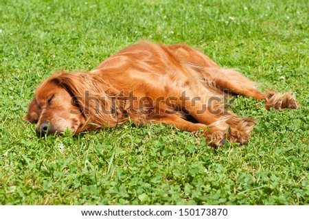 The lucky lazy dog is sleeping for itself on the grass