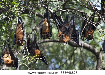 The Lyle's flying fox in thailand, wildlife.