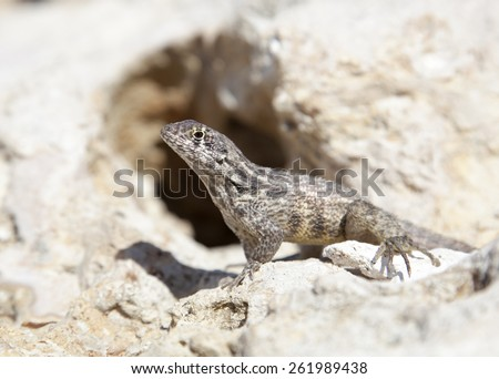 The macro view of a little lizard on a rock (Grand Cayman). - stock photo