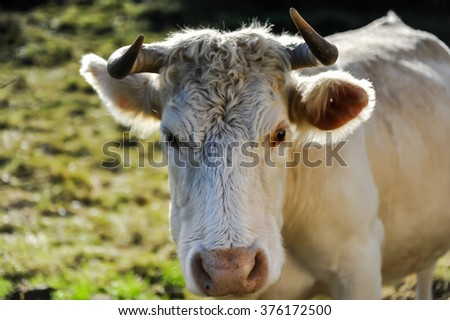 The mad staring cow, Galway, Ireland - stock photo