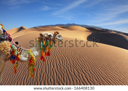 The magnificent Arabian camel in the desert sand. Dromedary decorated with picturesque harness and bright red blanket - stock photo