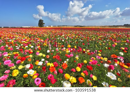 The magnificent garden buttercups. The boundless field, blooming colorful garden buttercups - stock photo