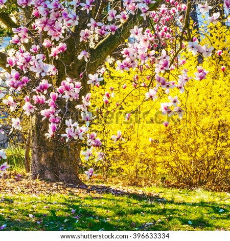 The magnolia tee and the forsythia are sure signs of Spring. - stock photo