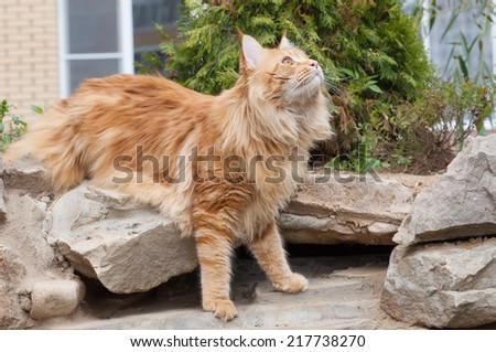 The Maine Coon, also known as American Longhair looking up, is the domesticated breed of cat with a distinctive physical appearance and high level hunting skills - stock photo