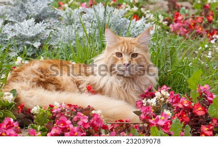 The Maine Coon, also known as American Longhair. On flowerbed - stock photo