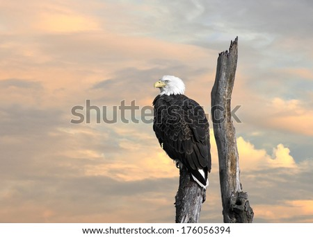 The Majestic Bald Eagle perched on a tree at sunset - stock photo