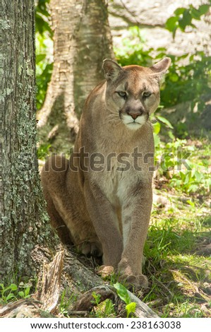 The majestic mountain lion (Puma concolor) is also know as the puma or catamount. It is a large feline creative which is native to the Americas. - stock photo