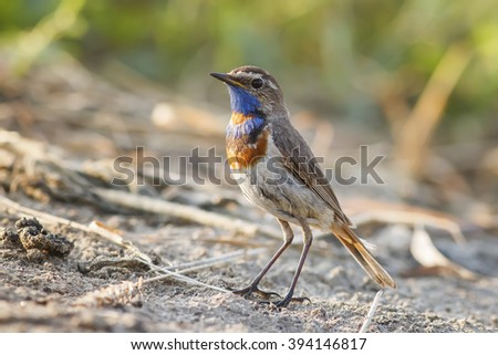 the male birds are the Bluethroat in the summer among the green grass