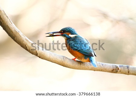 The male Common Kingfisher (Alcedo atthis),Eurasian Kingfisher or river Kingfisher