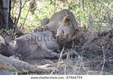 The male cub refuses to share with his sister cubs any part of the warthog his mother caught. He continues to feed while watching our movements and keeping a paw on his prey. - stock photo