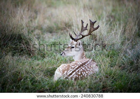 The male fallow deer (Dama dama) is known as a buck, the female is a doe, and the young a fawn. - stock photo