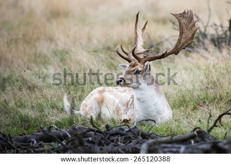 The male fallow deer, known as a buck, is resting in the wild surrounded by thick bush. The deer has white, grey and brow thick fur with beautiful white spots. It has a pair of long dark brown antler. - stock photo