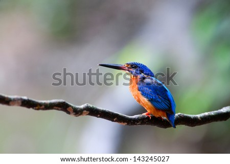 The male of Blue-eared Kingfisher (Alcedo meninting) is found in Asia, ranging across the Indian Subcontinent and Southeast Asia, Thailand. He stands on the black stick.