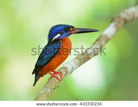 The male of Blue-eared kingfisher (Alcedo meninting) the tiny beautiful blue bird standing on the branch on green blur background