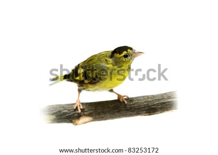 The male of Eurasian Siskin (Carduelis spinus), isolated on white