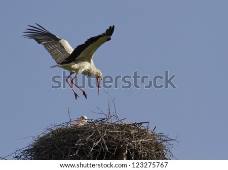 The male sits in the white stork nest.
