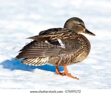 The Mallard (Anas platyrhynchos) is in a city park. - stock photo