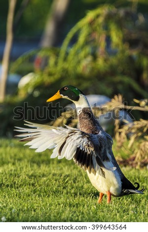 The Mallard Duck or Wild Duck (Anas platyrhynchos) is a dabbling duck which breeds throughout the temperate and subtropical countries.  - stock photo