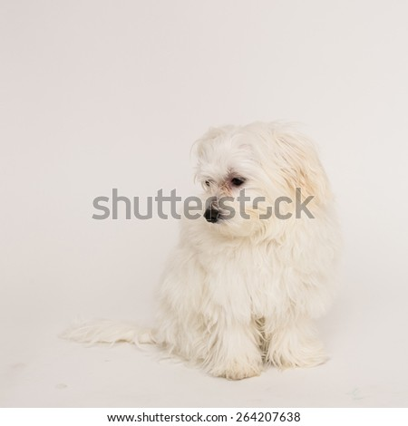 The maltese puppy dog on white background