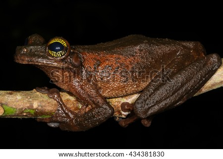 The Manaus slender-legged tree frog, Osteocephalus taurinus, is a species of frog in the Hylidae family found in Bolivia, Brazil, Colombia, Ecuador. - stock photo