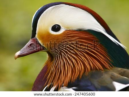 The Mandarin duck (Aix galericulata)      - stock photo