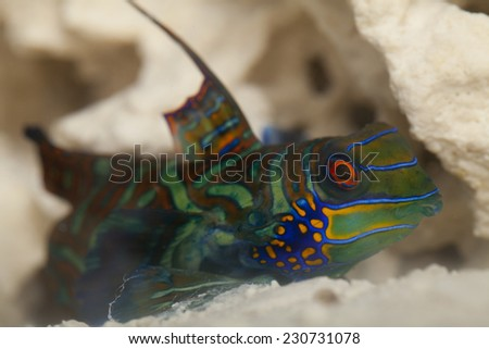 The mandarinfish or mandarin dragonet (Synchiropus splendidus), is a small, brightly colored member of the dragonet family, which is popular in the saltwater aquarium trade. - stock photo