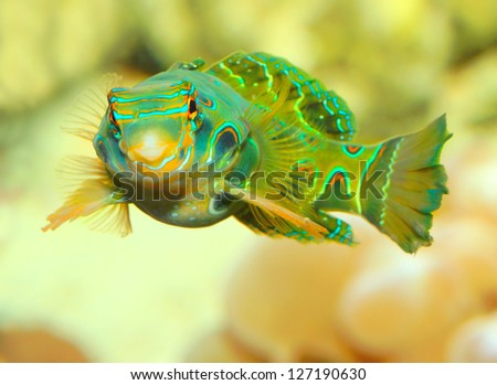 The Mandarinfish or Mandarin dragonet (Synchiropus splendidus). Little tropical fish living on the coral reef. Close up with shallow DOF. - stock photo