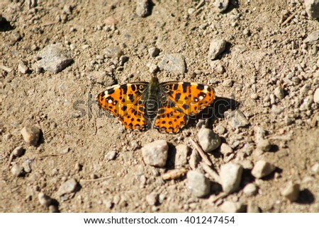 The map butterfly is sunbathing on a road. This map butterfly is ectothermic and it needs sun to warm up its body temperature