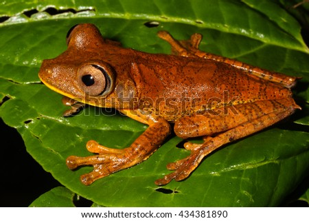 The map tree frog, Hypsiboas geographicus, is a species of frog in the Hylidae family found in Bolivia, Brazil, Colombia, Ecuador, French Guiana. - stock photo