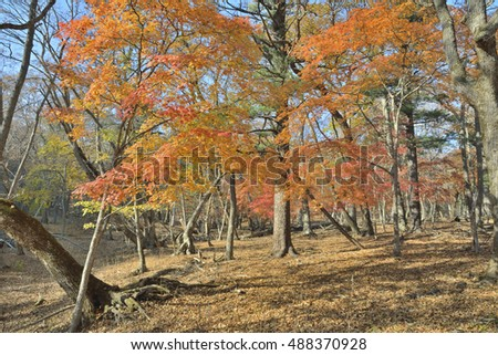 The maples with red and yellow leaves in autumn forest.
