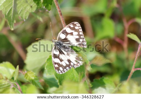The Marbled White is a butterfly of the subfamily of Brushfoots (Nymphalidae)