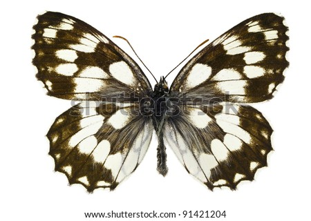 The Marbled White (Melanargia galathea) isolated on a white background