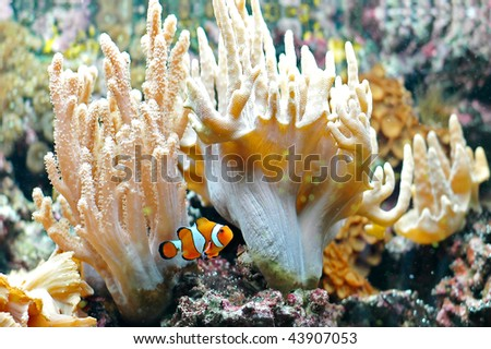 The Marine Fish - Ocellaris clownfish - stock photo