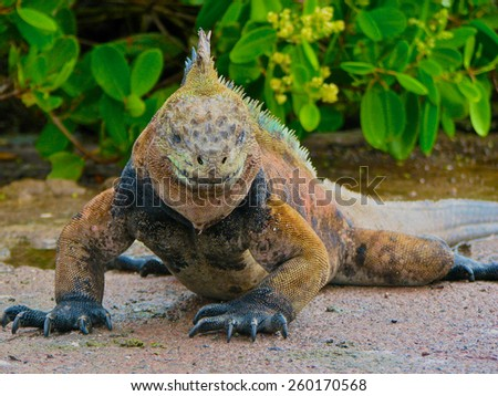 The Marine Iguana looks like he is ready for action as he stares at the camera.  It looks like he has a grin on his face