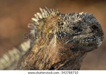 The marine iguana  on the black stiffened lava. The male of marine iguana (Amblyrhynchus cristatus) is an iguana found only on the Galapagos Islands - stock photo