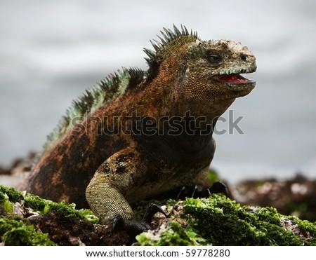 The marine  iguana poses.3 / The sea iguana, having opened a mouth, poses on stones with seaweed. - stock photo