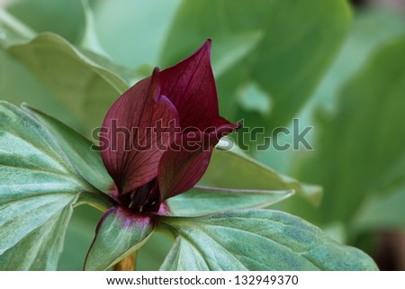 The maroon petals of a prairie trillium open above its green petals - stock photo