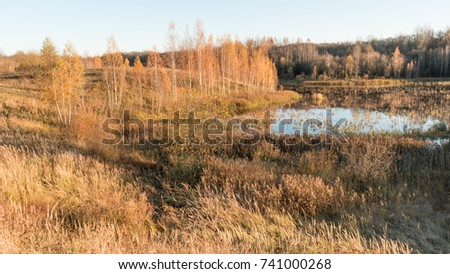 The marshy lowland is surrounded by birches, forest and dry grass, golden birch trees are illuminated by the rays of the setting sun, windy autumn weather