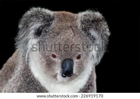 the marsupial koala portrait isolated on black - stock photo