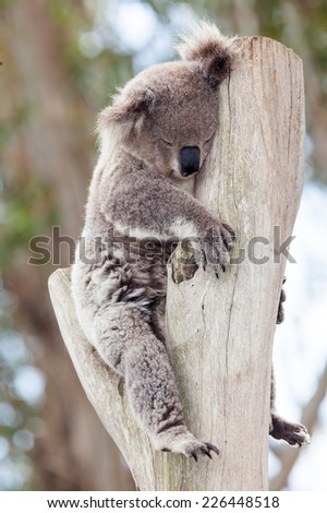 the marsupial koala who only eats gum leaves - stock photo
