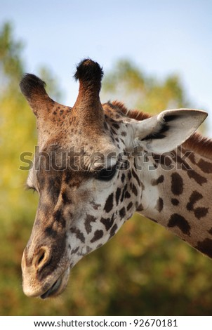 The Masai Giraffe or Maasai Giraffe, also known as the Kilimanjaro Giraffe is the largest subspecies of giraffe and the tallest land mammal. It is found in Kenya and Tanzania - stock photo