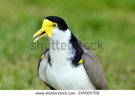 The Masked Lapwing (Vanellus miles),previously known as the Masked Plover and often called the Spur-winged Plover or just Plover it's a native bird to Australia and self-introduced bird to New Zealand - stock photo