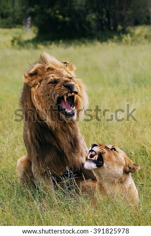 The mating lions (Panthera leo) on the plain in the grass - stock photo