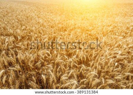 The mature wheat fields in the harvest season
